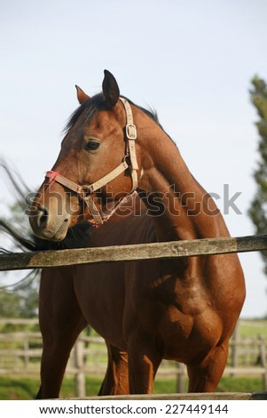 Portrait of nice purebred bay horse at corral door summertime - stock photo