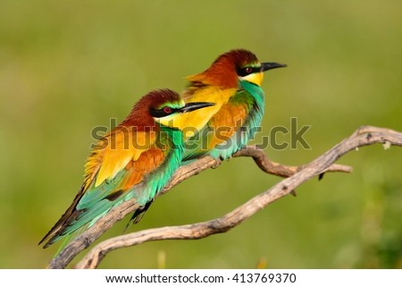 Portrait of pair a european bee-eater (Merops apiaster).  - stock photo