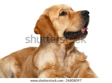 Portrait of the Golden Retriever on a white background.