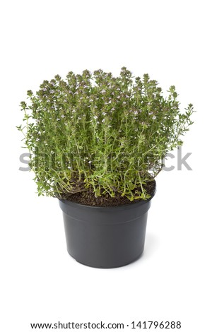 Pot of flowering thyme on white background