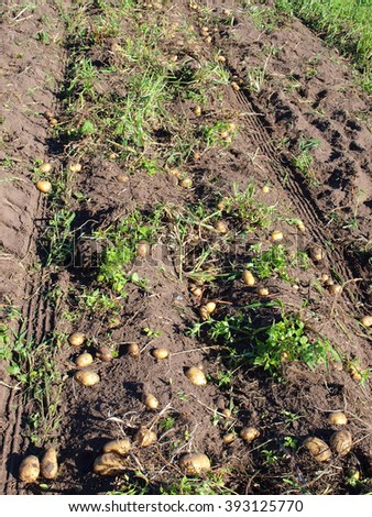 Potato in furrows after potato harvester digging.      - stock photo