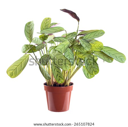 potted ctenanthe plant. house plant in a pot. isolated on white background - stock photo