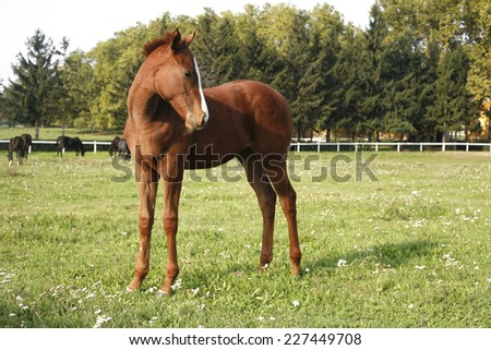 Pretty foal stands in a summer paddock. Baby horse in pasture - stock photo