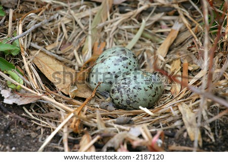 Pretty speckled Eggs in a seagull nest - stock photo