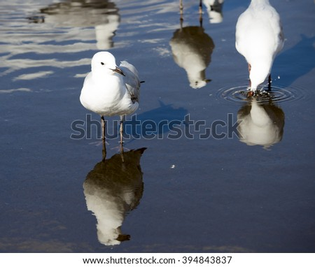 Pretty white Australian seagulls drinking in a water puddle in the parking area on a sunny early autumn afternoon are delightful to watch.