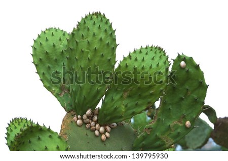 Prickly Pear Cactus covered with Snails; isolated on white - stock photo
