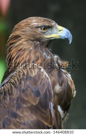 pride golden eagle - stock photo