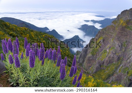 Pride of Madeira - Echium Fastuosum, Pico do Arieiro, Portugal, Europe - stock photo