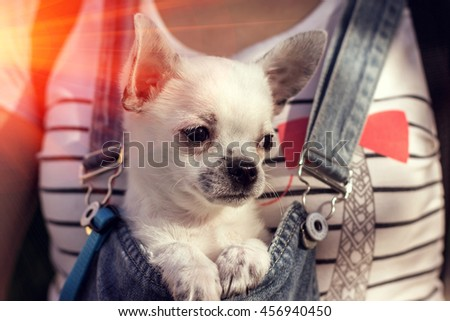 puppy chihuahua in the bosom of the girl, at sunset