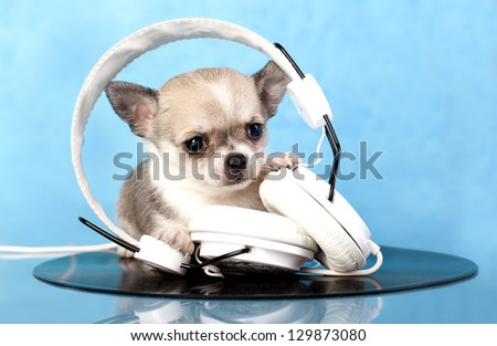 puppy chihuahua music lover - stock photo