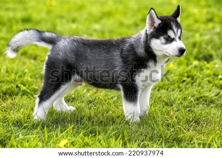 Puppy husky stands on the grass