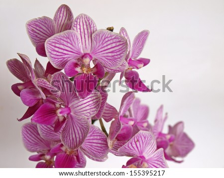 Purple color orchid blossoms, view close up