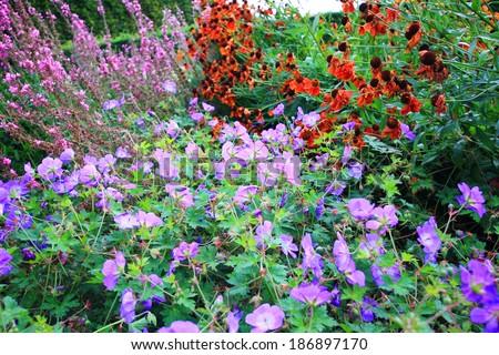 Purple geranium flowers in the garden - stock photo