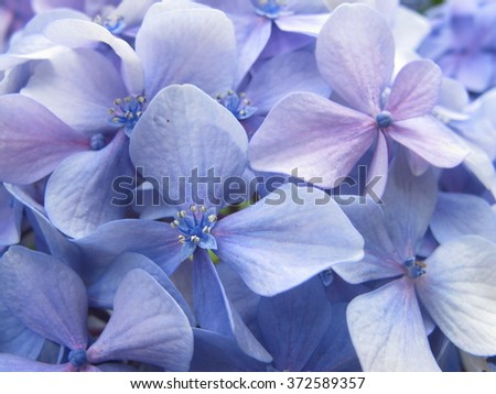 Purple Hydrangea petals close up