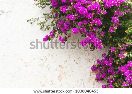 Purple leaves pink flowers ivy on stock photo royalty free purple leaves pink flowers ivy on white wall natural background mightylinksfo