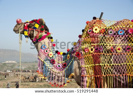 Pushkar / India 9 November 2016 ,  decorated camel  during the camel fair in Pushkar   Rajasthan, India