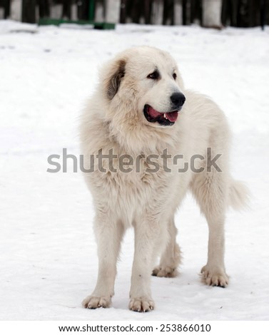 Pyrenean Mastiff on   street in winter day.