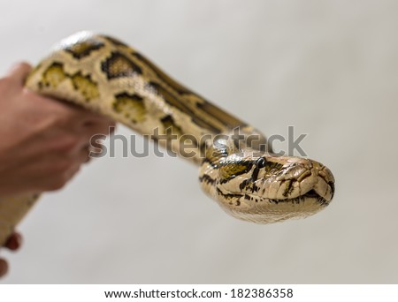 Python in hands - stock photo