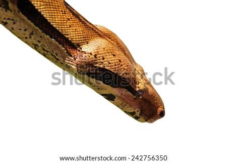 python isolated on white - stock photo