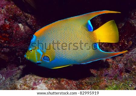 Queen Angel Fish - stock photo