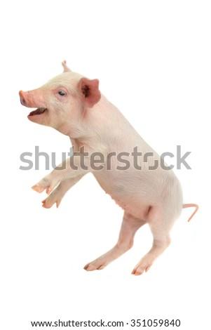 raised head pigs on a white background. studio - stock photo