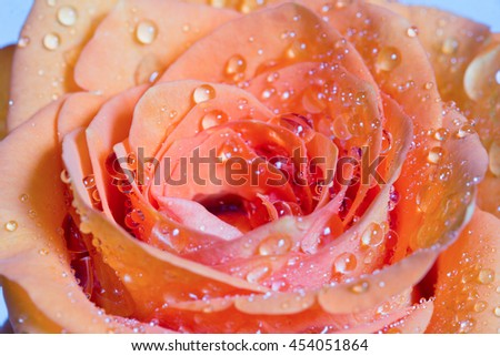 ?range rose with drops of water close-up. Macro image with small depth of field. Selective focus. - stock photo