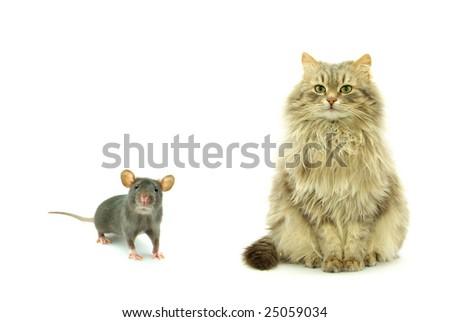 rat and cat - stock photo