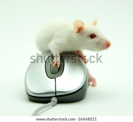 rat on computer mouse on white