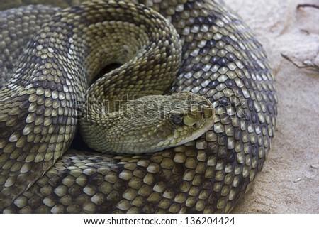 rattlesnake, rattler (Crotalus) - stock photo