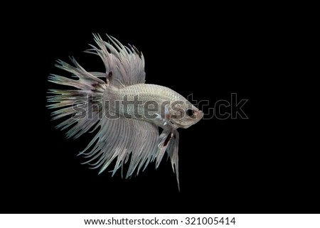 Red and white betta splendens (crowntail betta) isolated on black background - stock photo