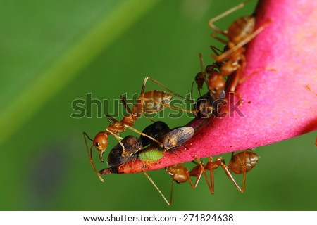 Red ant, Green tree ant ,Weaver ant,MOT is of adult workers. Ants are wingless female body shape red long slender neck has contracted to build a nest. Larvae and queen ant nest defense. - stock photo