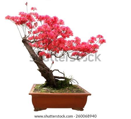 Red azalea bonsai isolated on white background  Red azalea bonsai - stock photo