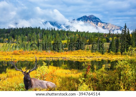 Red deer with branched antlers resting at the lake. Warm autumn day in Jasper Park, Canadian Rockies - stock photo