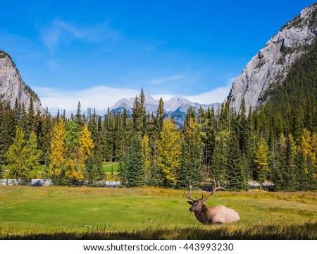 Red deer with branchy horns resting on the bank of creek. Autumn day in the Canadian Rockies - stock photo