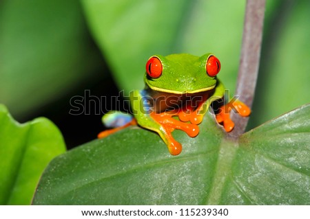 red eyed green tree or gaudy leaf frog Agalychnis callidryas on green plant in tropical rainforest,lake arenal, costa rica, latin america. exotic amphibian full frame macro  jungle treefrog