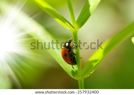 red ladybug which sits on a green leaf - stock photo