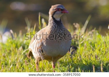 Red-legged Partridge Alectoris rufa - stock photo