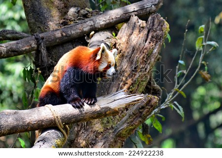Red panda at Darjeeling zoo, India - stock photo