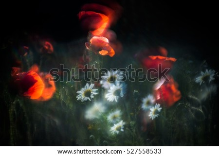 Red poppy field  in wind
