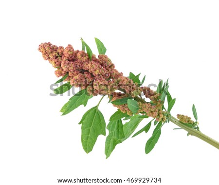 Red Quinoa isolated on white background