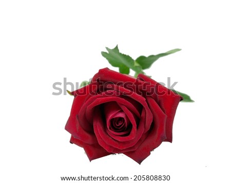 red roses isolated on white background - stock photo