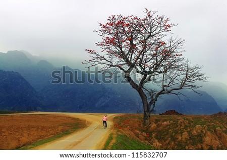Red Silk Cotton Tree - The Latin name is Bombax Ceiba