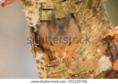 red squirrel in tree hole with seed in mouth - stock photo