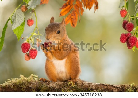 red squirrel is standing with raspberry in hands