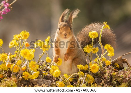 red squirrel profile standing on moss between yellow flowers looking in the lens - stock photo