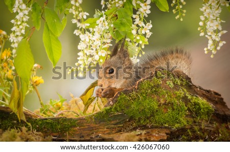 red squirrel standing behind tree trunk with moss and under branches with flowers - stock photo