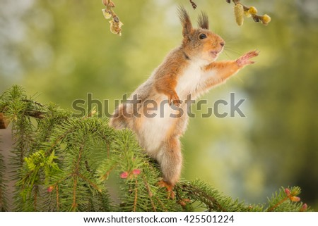 red squirrel standing on branch reaching out  - stock photo