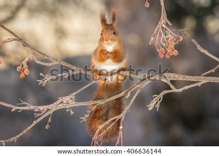 red squirrel standing on branch with ice and berries - stock photo