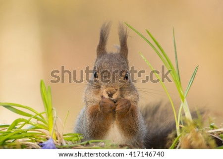 red squirrel standing on moss looking in the lens with dirty nose - stock photo