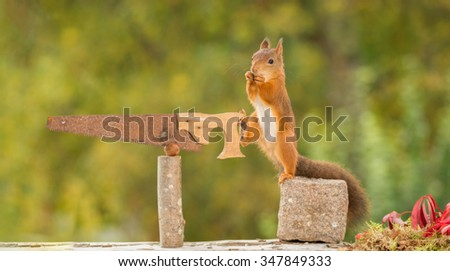 red squirrel standing  on stone with saw and nut